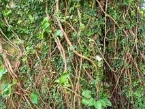 Плющ на большом дереве в парке Стоковое фото RF