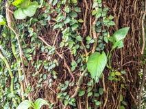Плющ на большом дереве в парке Стоковые Изображения RF