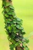 Плющ на дереве Стоковая Фотография