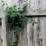 Плющ на загородке Стоковые Фото