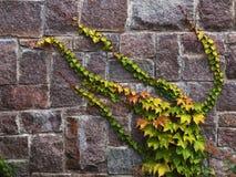 Плющ на каменной стене Стоковые Изображения RF