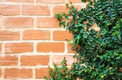Плющ на кирпичной стене Стоковые Изображения