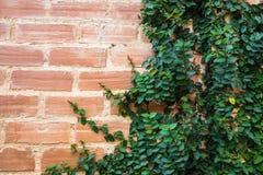 Плющ на кирпичной стене Стоковое Фото