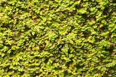 Плющ на предпосылке стены Стоковые Фото