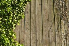 Плющ на древесине Стоковые Фотографии RF