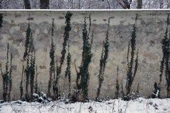 Плющ на серой стене стоковая фотография