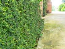 Плющ на стенах сделанных из цемента в парке Стоковое Изображение RF