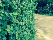 Плющ на стенах сделанных из цемента в парке Стоковое Фото