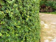 Плющ на стенах сделанных из цемента в парке Стоковое Изображение