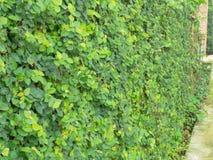 Плющ на стенах сделанных из цемента в парке Стоковая Фотография