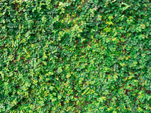 Плющ на стенах сделанных из цемента в парке Стоковые Изображения