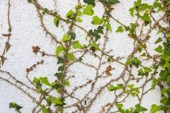 Плющ на стене разрушенного здания Стоковая Фотография RF