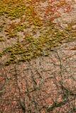 Плющ на стене Стоковая Фотография