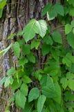Плющ отравы в древесинах стоковая фотография