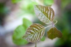Плющ отравы Стоковая Фотография