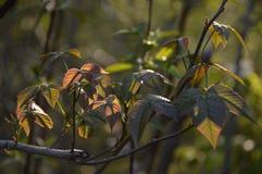 Плющ отравы Стоковые Изображения