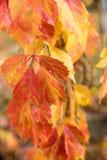 плющ покидает красный цвет Стоковая Фотография
