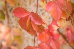 плющ покидает красный цвет Стоковые Фото