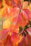 плющ покидает красный цвет Стоковая Фотография RF