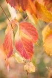 плющ покидает красный цвет Стоковые Изображения RF