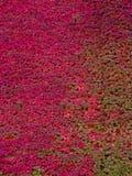 Плющ покрыл кирпичную стену Dubuque Айову Стоковые Изображения