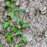 Плющ растет в коре дерева, структуре предпосылки Стоковое Фото