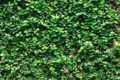 Плющ с листьями для картины и предпосылки Стоковое Изображение