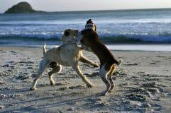 Пляж игры собак Стоковые Изображения