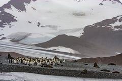 Пляж короля пингвина Стоковая Фотография RF