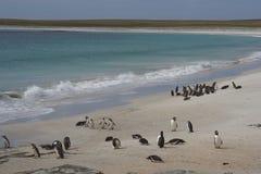 Пляж пингвина - Фолклендские острова Стоковые Изображения
