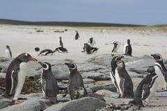Пляж пингвина - Фолклендские острова Стоковая Фотография