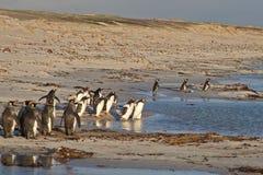 Пляж пингвина Стоковые Изображения