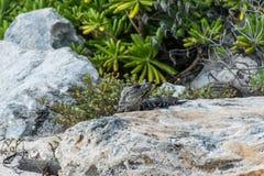Пляж ящерицы мексиканськой игуаны живой природы свободной живущий Стоковое фото RF