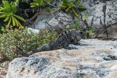 Пляж ящерицы мексиканськой игуаны живой природы свободной живущий Стоковые Изображения RF