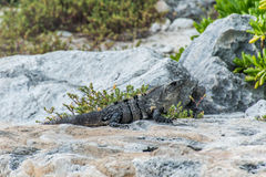 Пляж ящерицы мексиканськой игуаны живой природы свободной живущий Стоковая Фотография