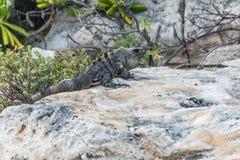 Пляж ящерицы мексиканськой игуаны живой природы свободной живущий Стоковые Фото
