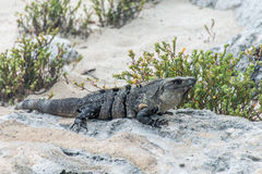 Пляж ящерицы мексиканськой игуаны живой природы свободной живущий Стоковое Фото
