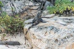 Пляж ящерицы мексиканськой игуаны живой природы свободной живущий Стоковая Фотография RF