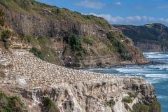 Пляж Muriwai Стоковое Изображение RF