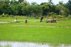 Работайте в полях риса на горячий день Стоковое Изображение