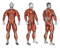 работать Проекция человеческого тела Показывающ все группы мышцы которые работают во время тренировки Стоковая Фотография
