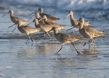работать птиц пляжа Стоковые Фото