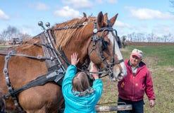 Работая лошади получают некоторую влюбленность Стоковое Изображение