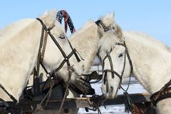 Работая лошади близко вверх Стоковое Изображение RF