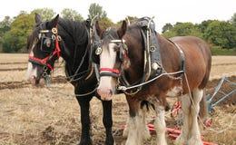 Работая лошади. Стоковая Фотография