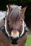 Работая лошадь в проводке Стоковые Фото