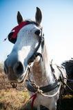 Работая портрет лошади Стоковые Фото