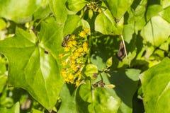 Работая пчела делая свою вещь Стоковое Изображение