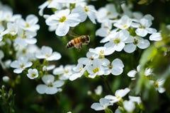Работая пчела на саде Аляски ботаническом стоковое фото