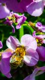 Работая пчела собирая цветень в саде страны от розовой подачи Стоковые Изображения
